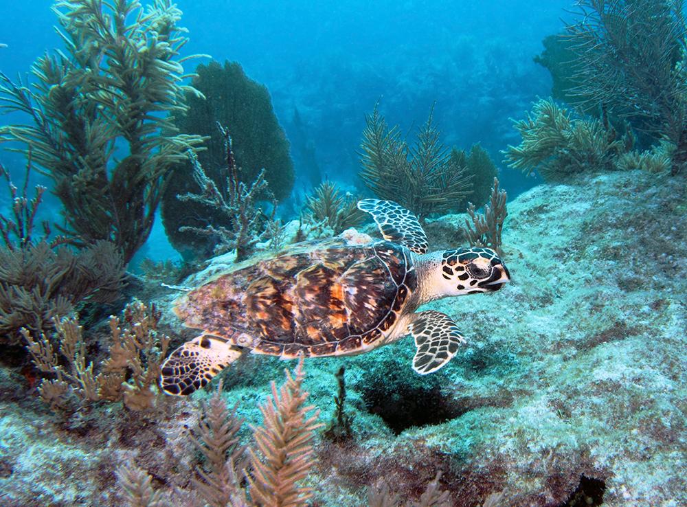 Korallrev i Key Largo